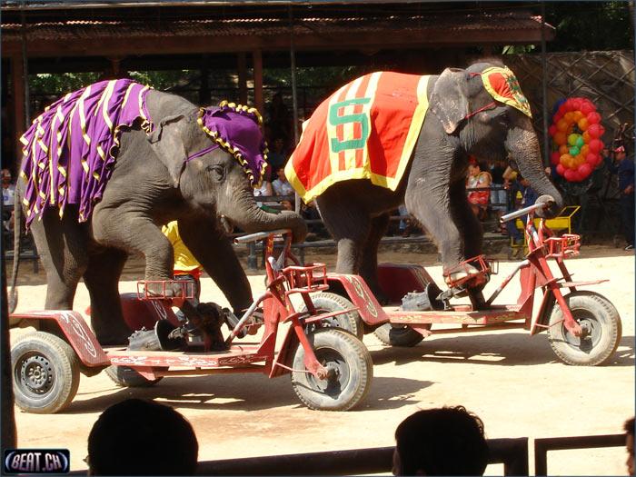 elefanten_fahrrad-788659.jpg
